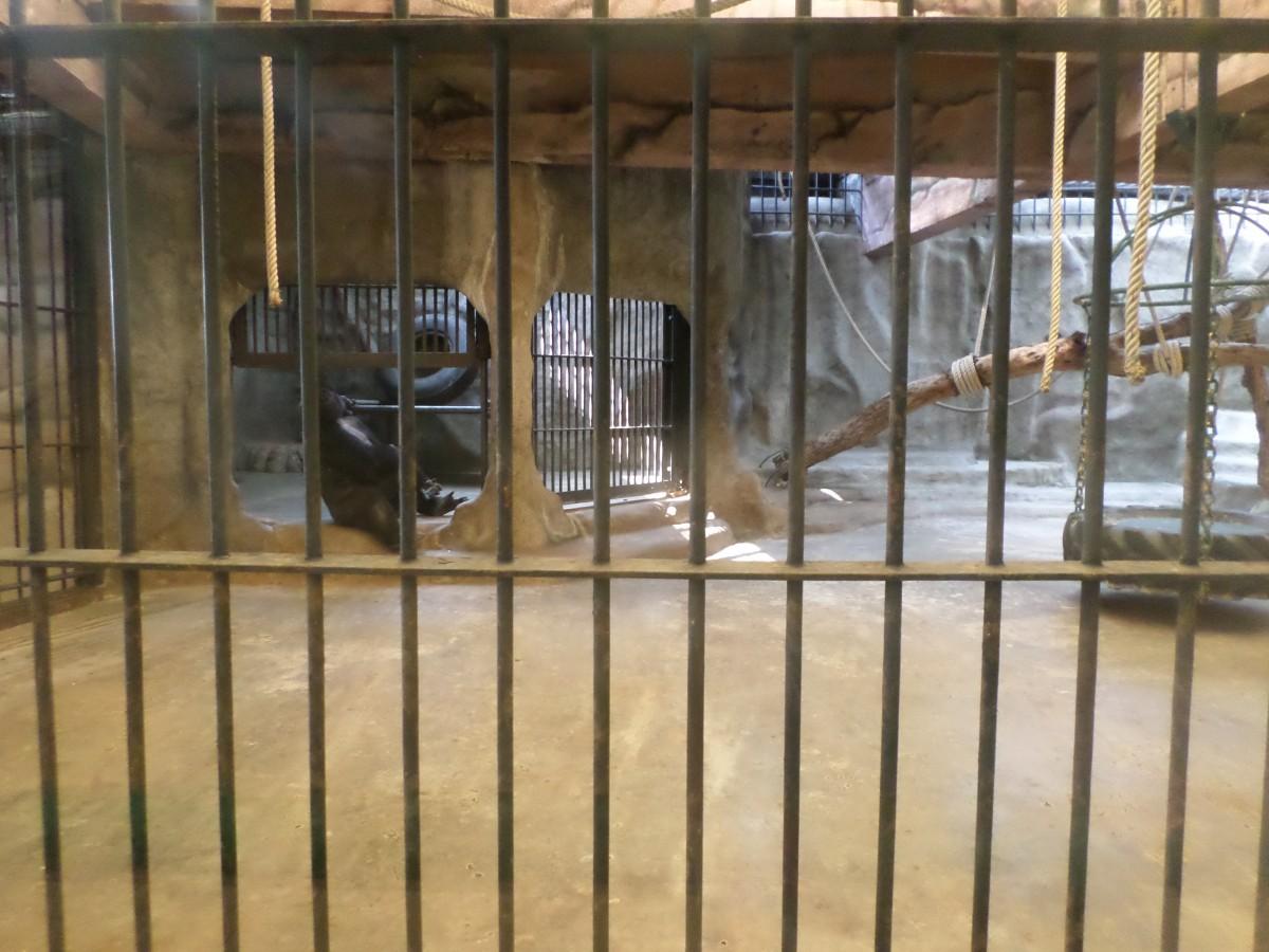 gorilla at pata zoo