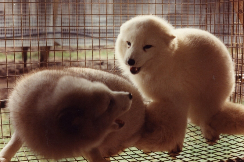 Animals Killed for Fur