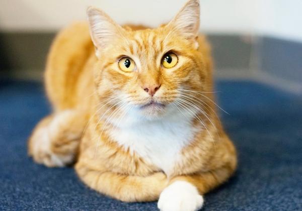 orange-cat