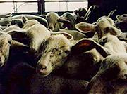 180-SheepLiveExport