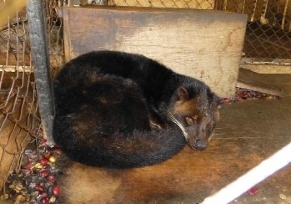 Civets Suffer for Vile Kopi Luwak Coffee