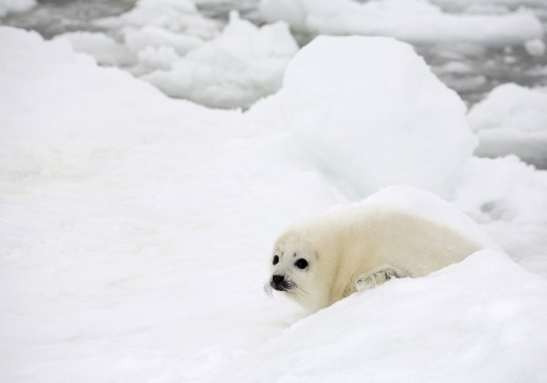 Australian Musicians Lead the Call For an End to the Cruel Seal Hunt
