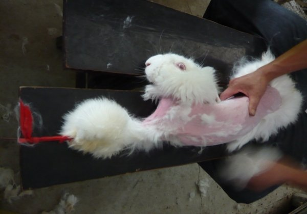 A Look Inside the Angora Fur Industry