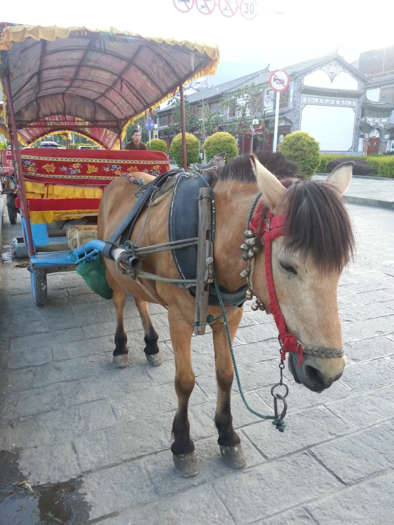 A sad, tired horse is forced to pull a carriage in China.
