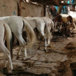 Malnourished horses.