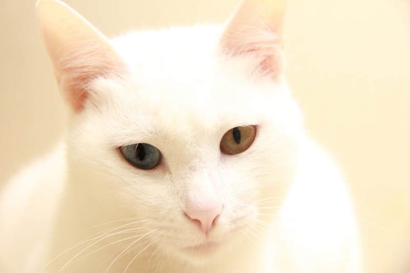 White cat with 2 different colored eyes.