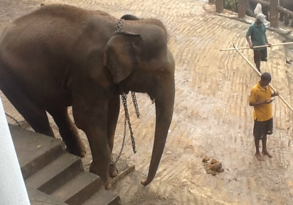 Elephant Collapses and Dies After Being Forced to Give Rides to Tourists in Cambodia