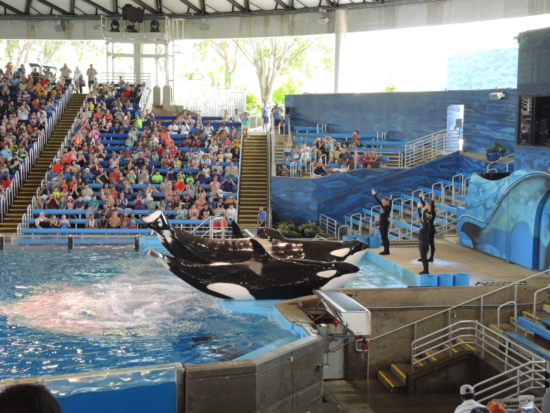 Orcas at SeaWorld San Antonio.