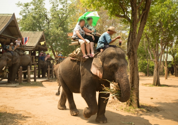 Another Elephant Ride Kills a Tourist in Thailand