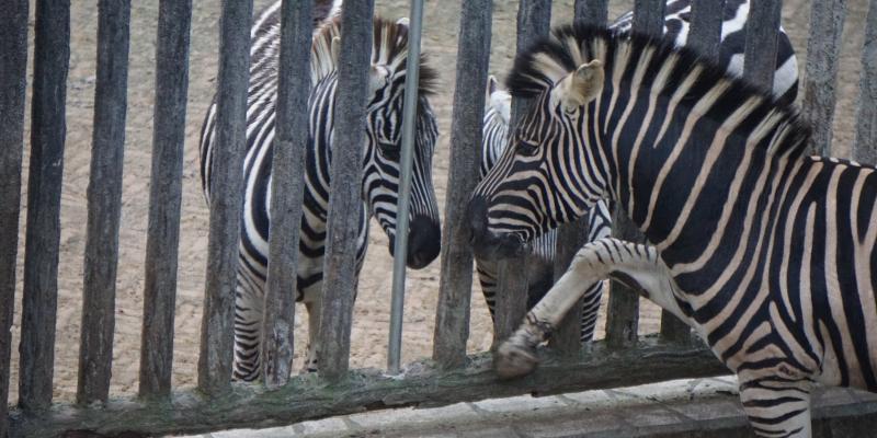 Zoos_zebras_China_ent_012