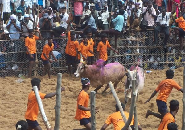 Urge India to Stand By Ban on Bullfighting and Keep Bulls Protected