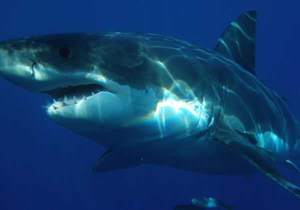 Captivity Kills Great White Shark Who Spent Three Days in Aquarium
