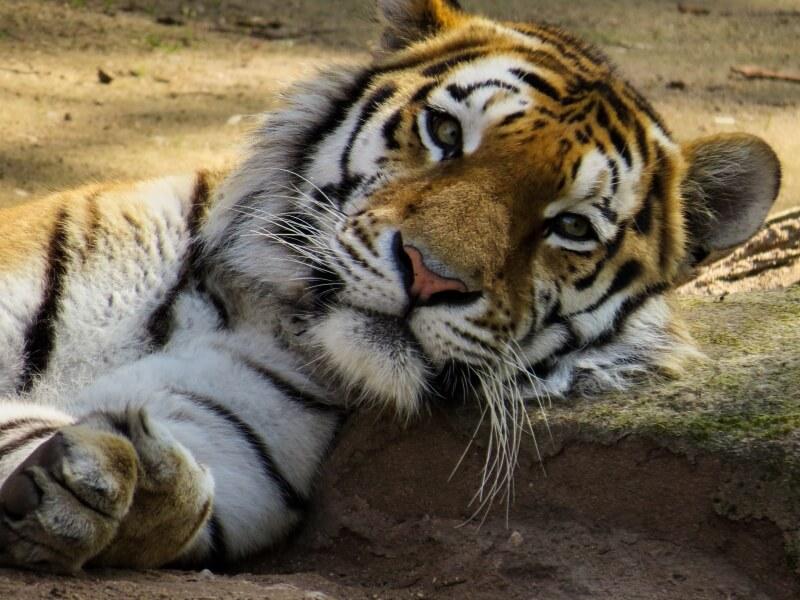 tiger-742425