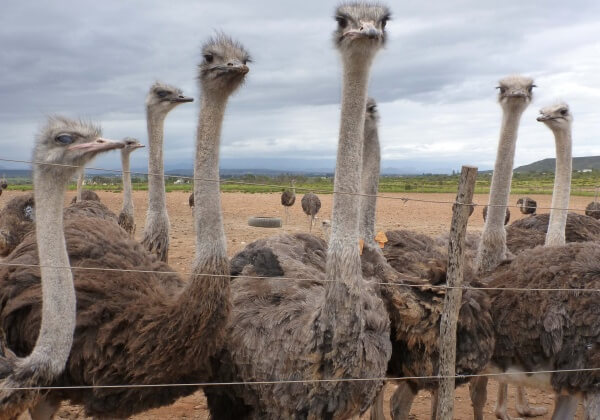Ostriches in Feedlot