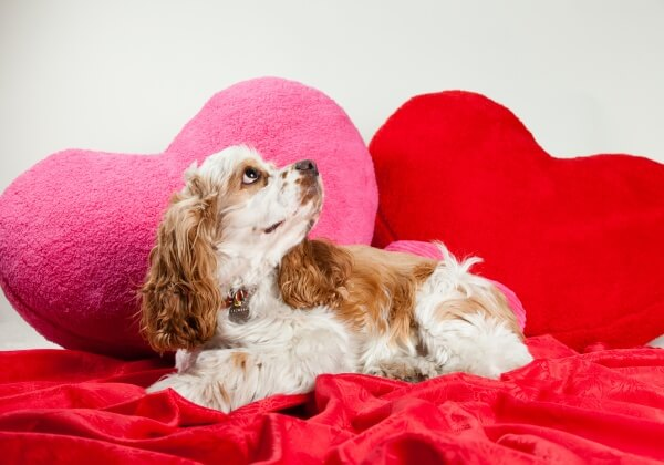 Don't Kill Your Dog With Love! 6 Valentine's Day Items Unsuitable for Dogs
