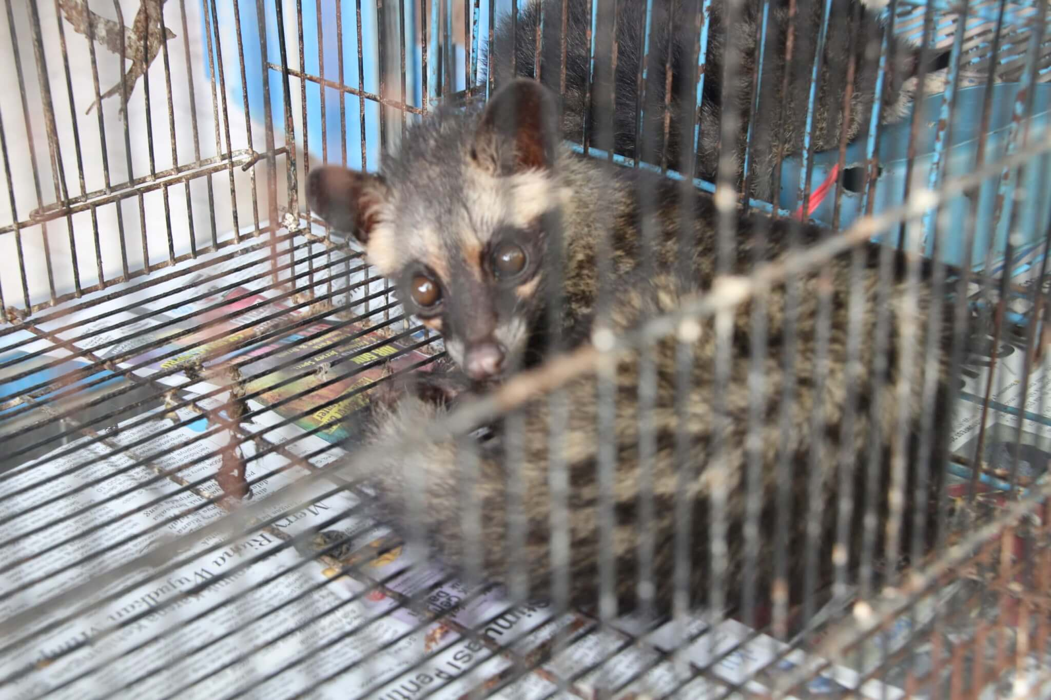 Kopi luwak is made from the beans of coffee berries that have been eaten and excreted by civets.