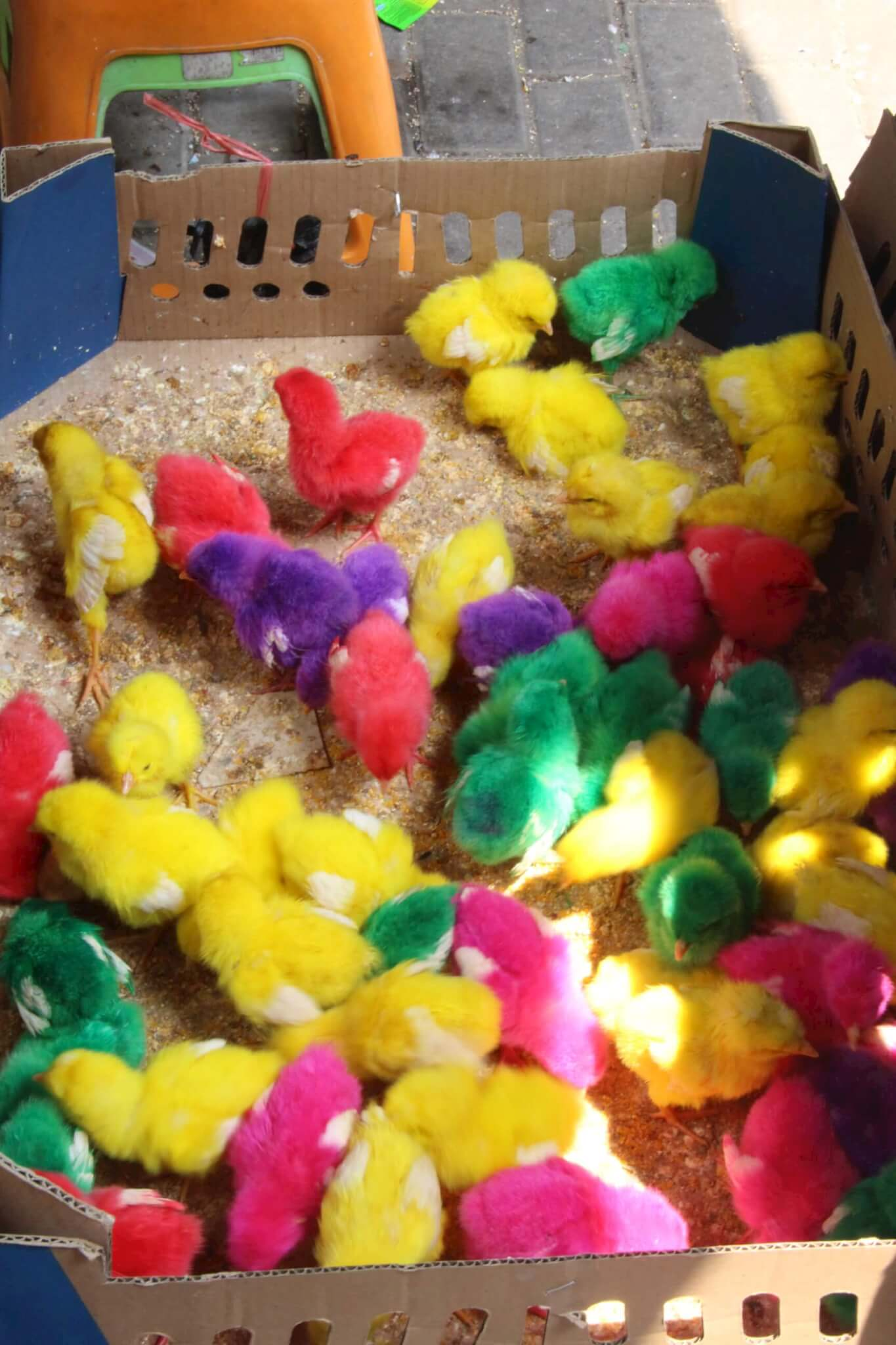Horrific Video Shows Baby Chicks Roughly Tossed, Dyed Bright Colors