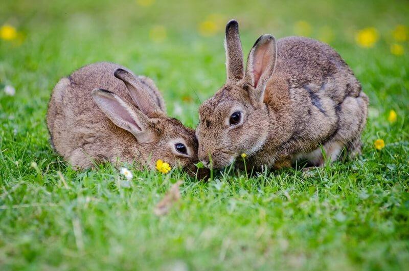 european-rabbits-1006621_1280 (1)