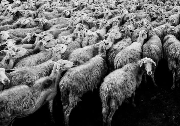 sheep-1148999_1920 (1)