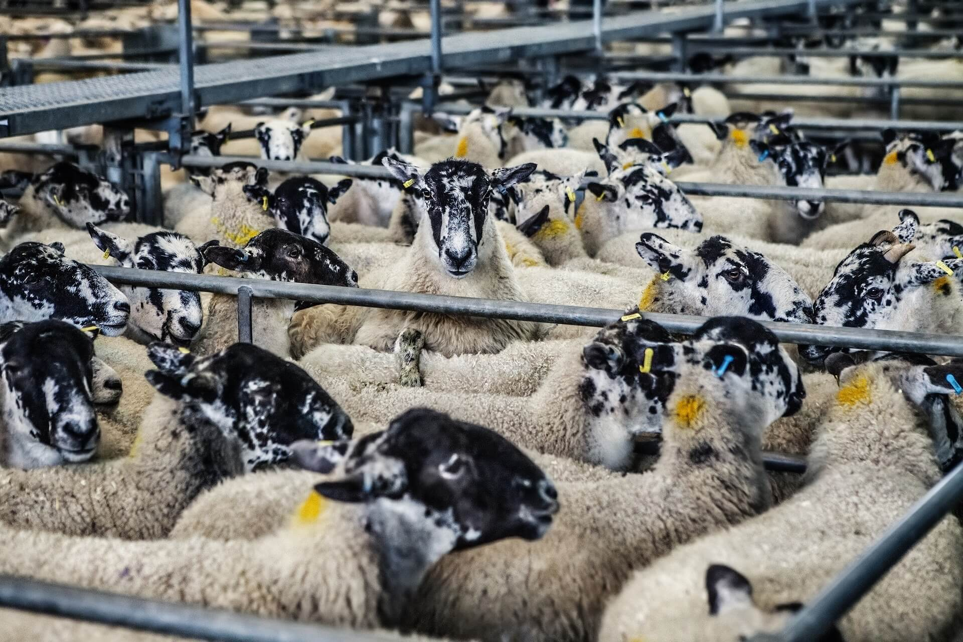 sheep-678196_1920 (1)