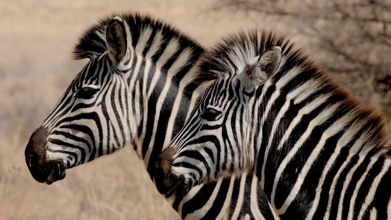 zebra-927272_1920 (1)