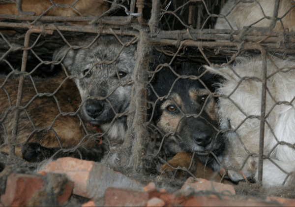 Dogs crush cage