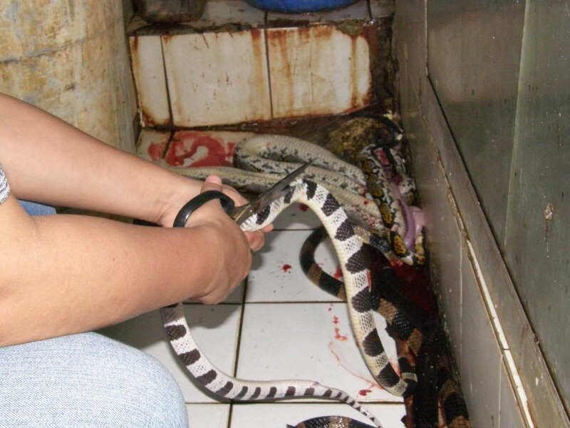 Snake's body being cut open with scissors before being skinned.