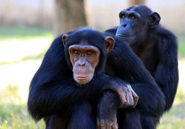 Chimpanzee Escapes Japanese Zoo and Runs for His Life