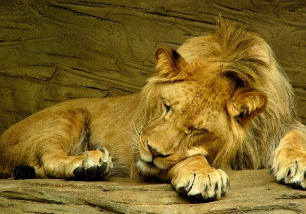 lion-sleeping-601947_1280