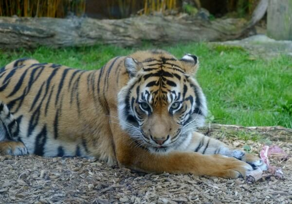 One of the World's Rarest Tigers Dies at the 'Zoo of Death'
