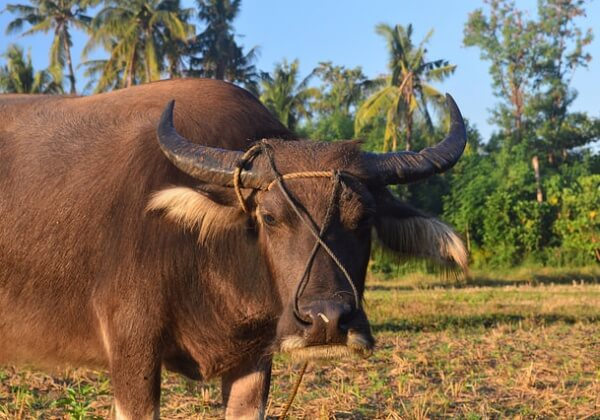 Carabao With Legs Hacked Off Left for Dead in the Philippines