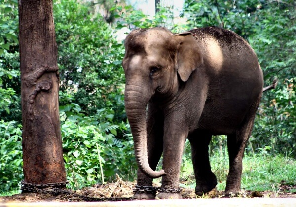Elephant Dies Because of Neglect in Indonesian Zoo