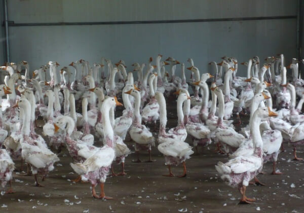 Exposed: Farms in China Still Live-Plucking Geese