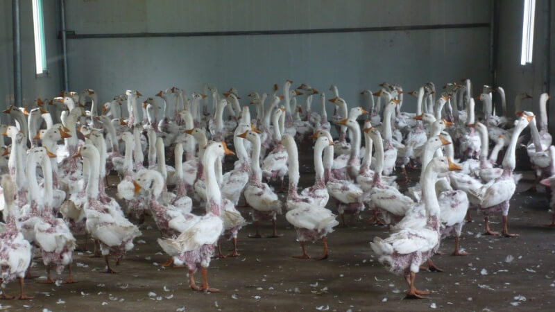 Geese after plucking 3