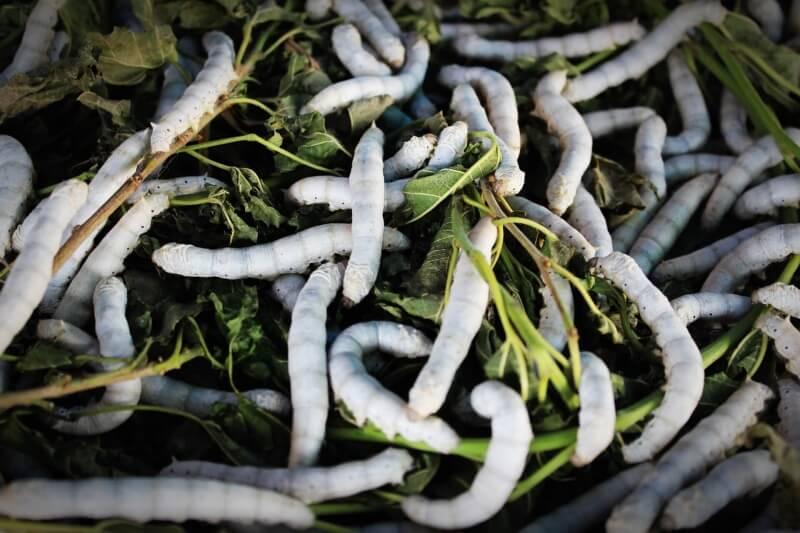 silkworm-931555_1920