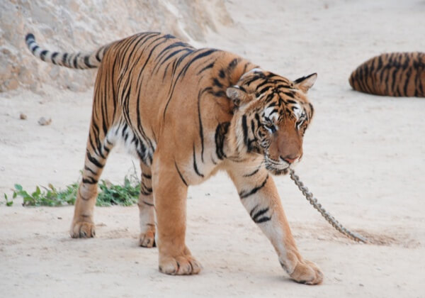 Tiger Temple: Authorities Uncover More Horror