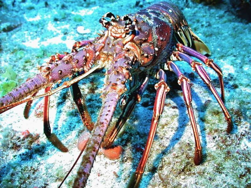 Caribbean_spiny_lobster