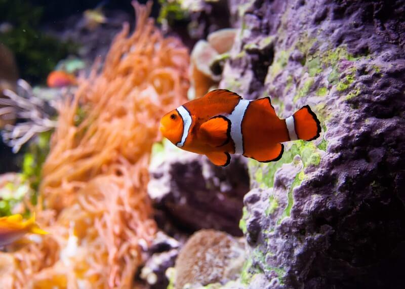 clown-fish-1334025