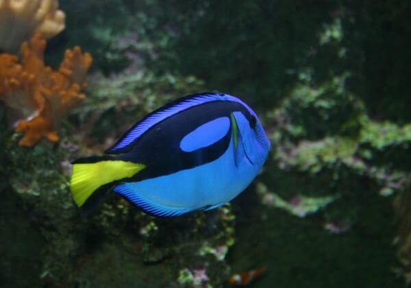 regal-tang-fish-1531519