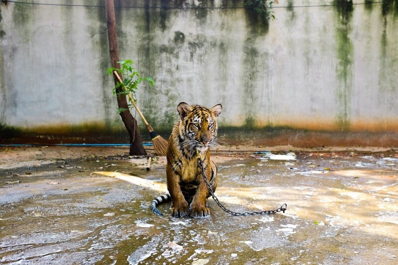 tiger-692161_1280
