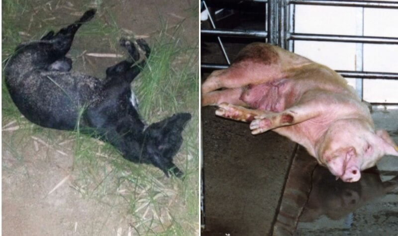 Yulin_dead_dog_pig 3