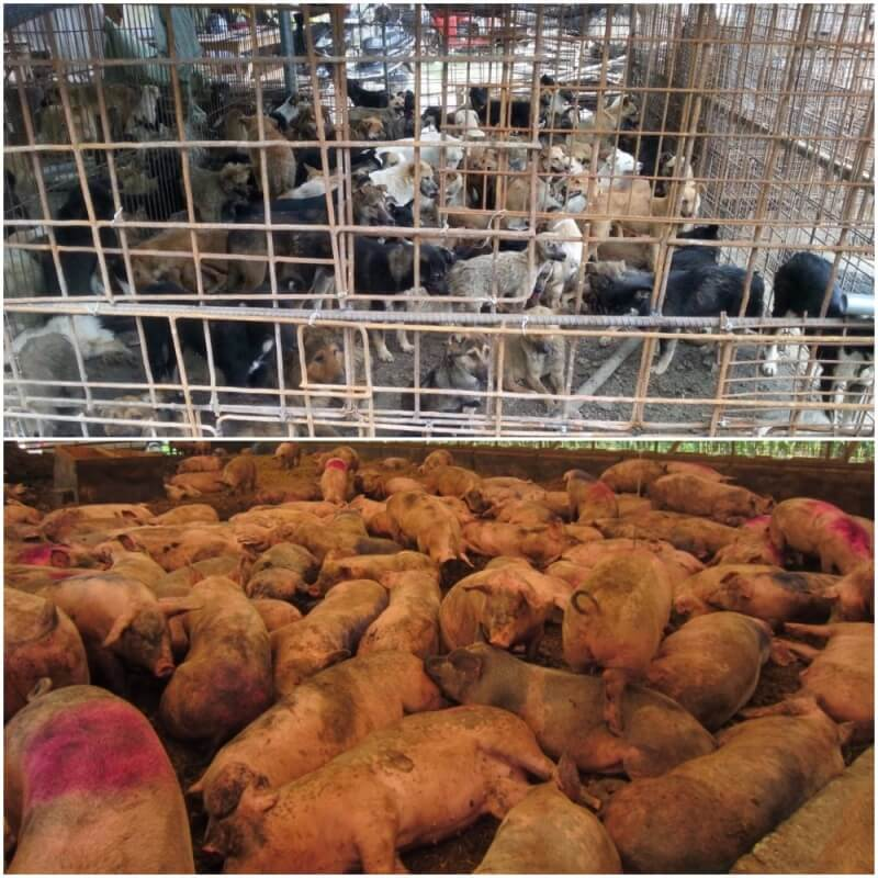 Yulin_dogs and pigs