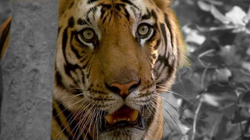 tiger-532060_1280
