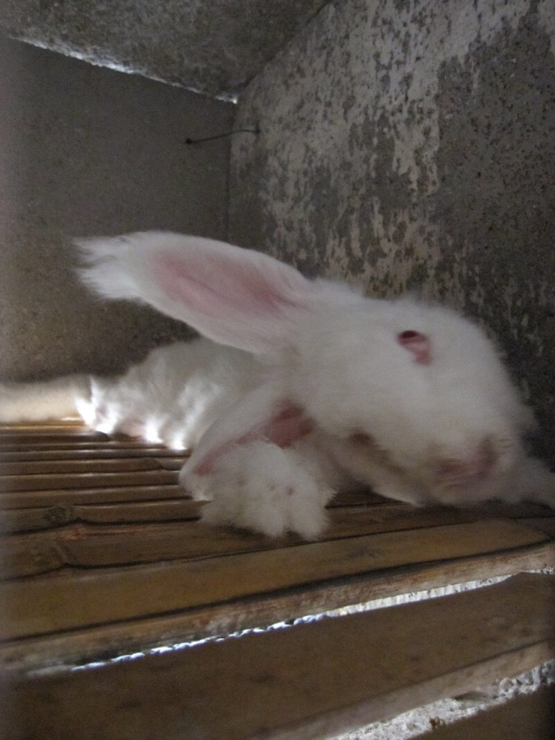 Many rabbits' heads were tilted at a 90-degree angle. This condition is caused by damage to the ears, likely from being roughly handled every 30 to 60 days when they're yanked out of cages for shearing. Because of the head tilt, they were unable to orient themselves to eat or drink and were very slowly dying of starvation or dehydration.