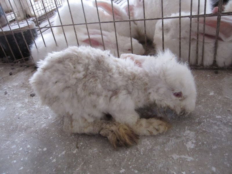 Of the farms that the group visited, rabbits were not euthanized on site under any circumstances, no matter how sick or injured they were. They were left to languish for days, weeks, or even months without relief or treatment before finally succumbing.