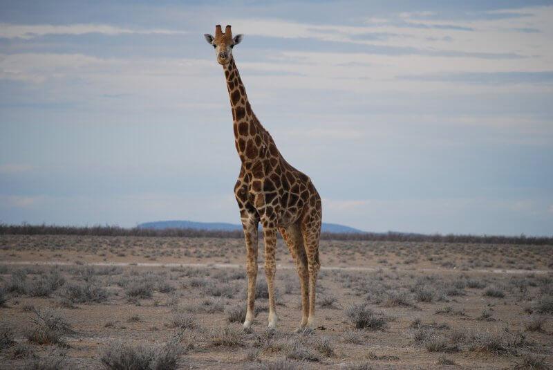 giraffe-805096_1920