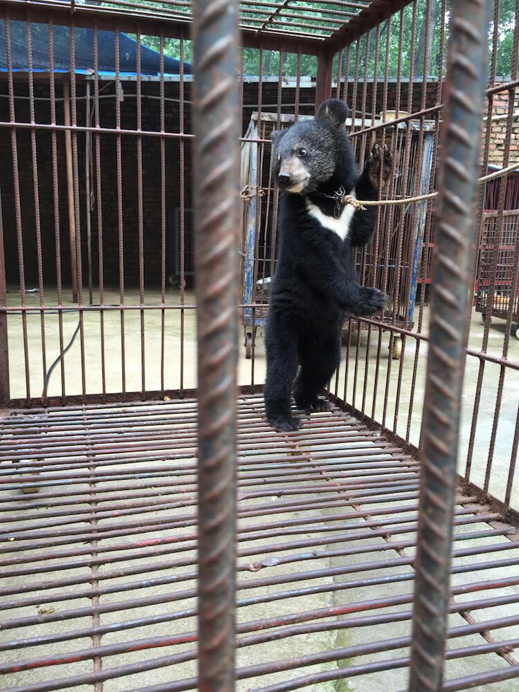 Bears chained China circus