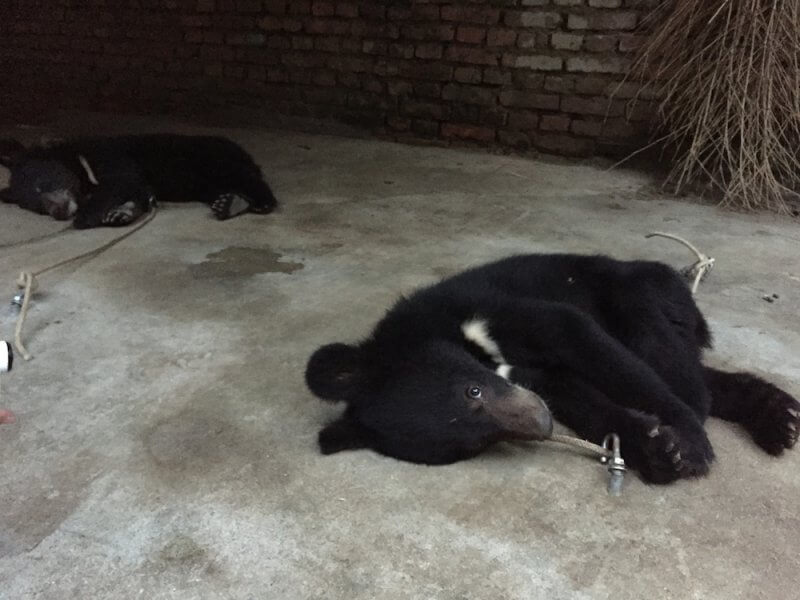 Bear cubs tethered to ground China circus