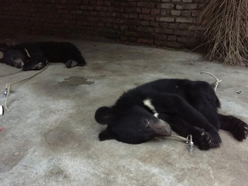 Bear cubs tethered to ground China circus