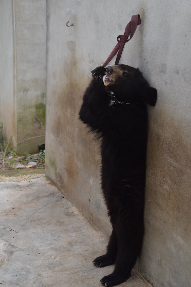 Bear chained in China circus